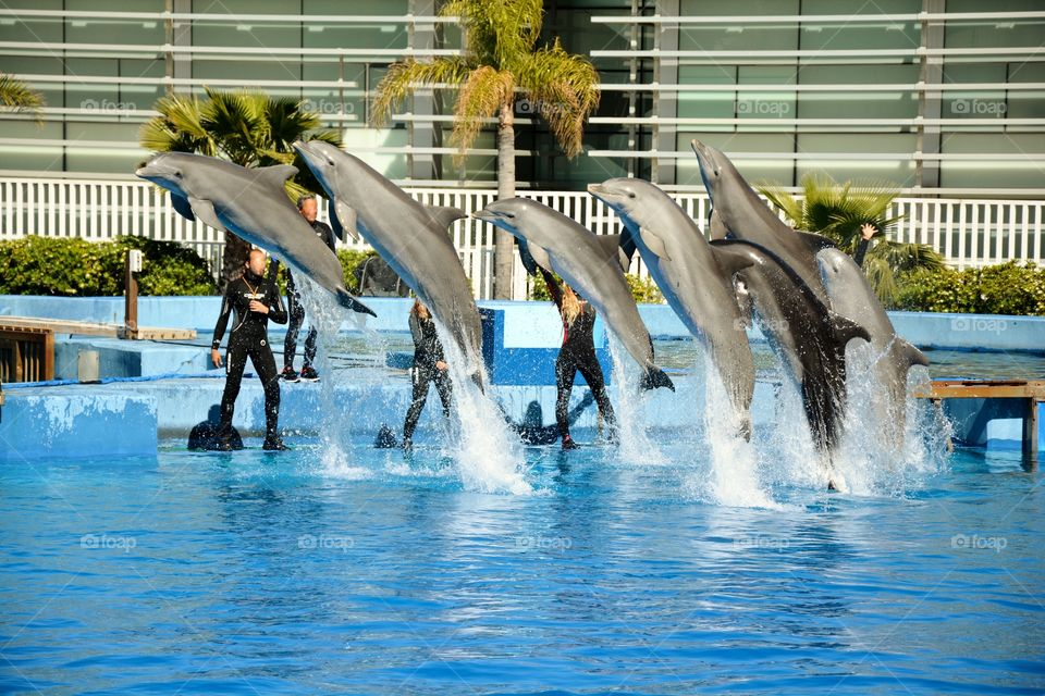 dolphinarium with seven dolphins jumping in the swimming pool