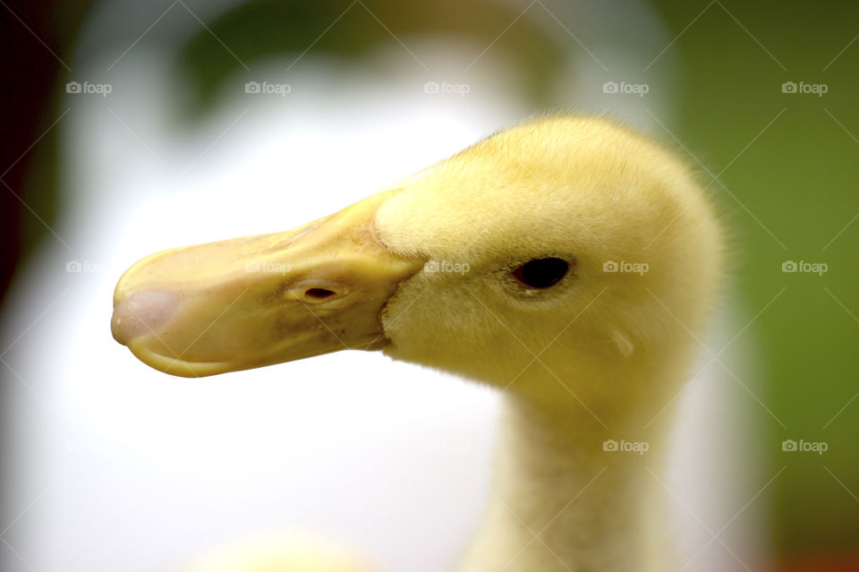 Close-up of a duckling