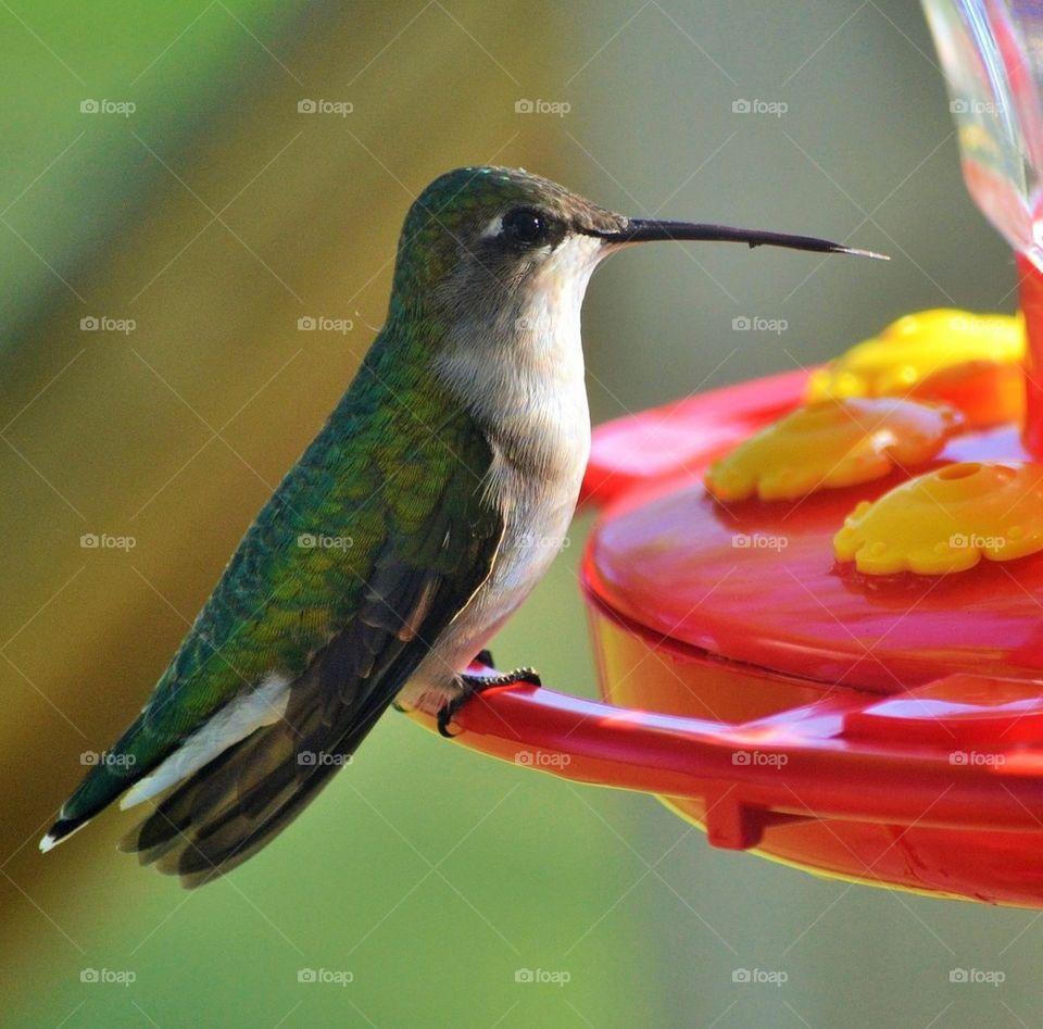 Hummingbird perching on bird feeder