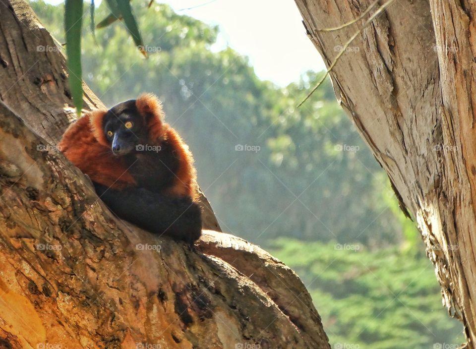 Lemur Hiding In A Tree