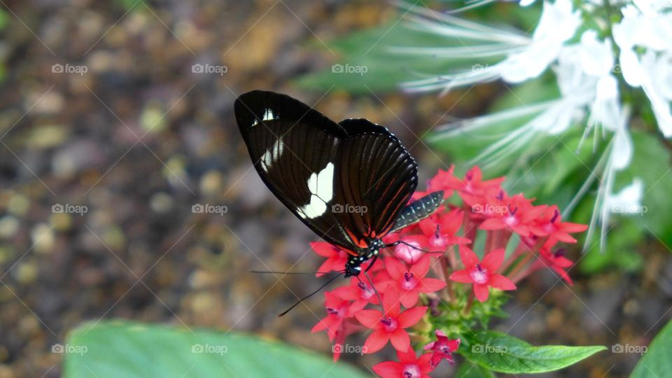 Red black wing butterfly