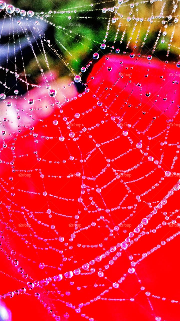 macro close up of spider web with dew drops with red background
