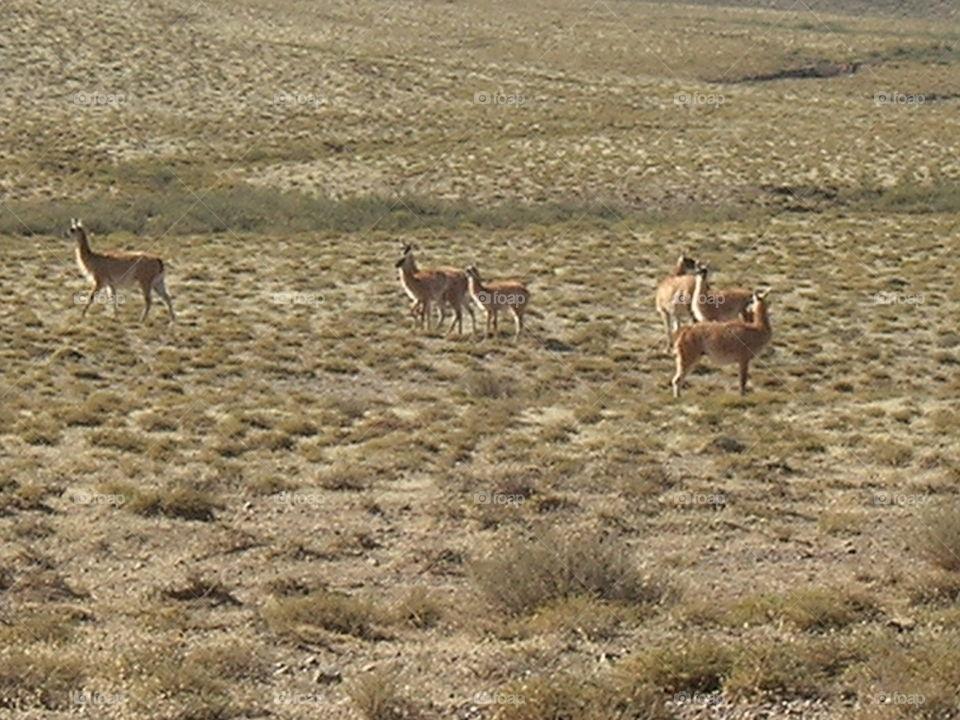 wild grazing alpaca in the North of argentina salta region