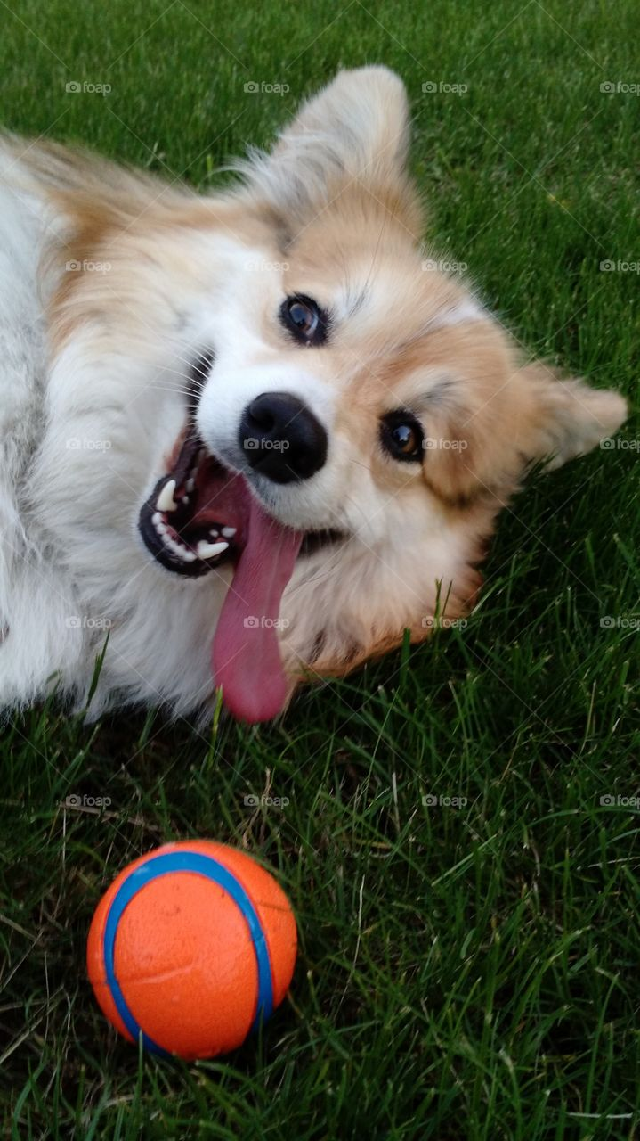 corgi ball fetch