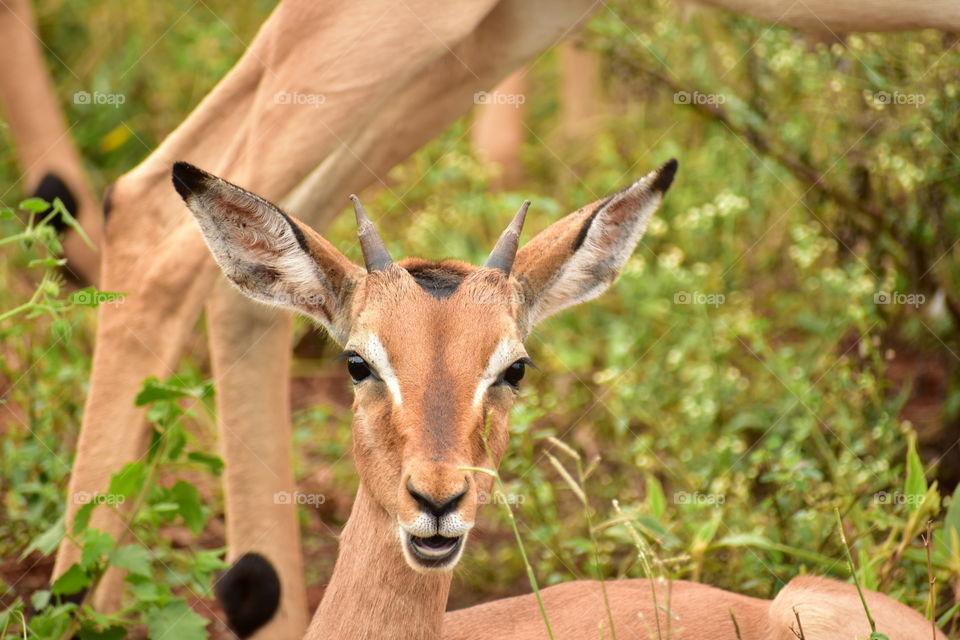 A Young Impala Ram