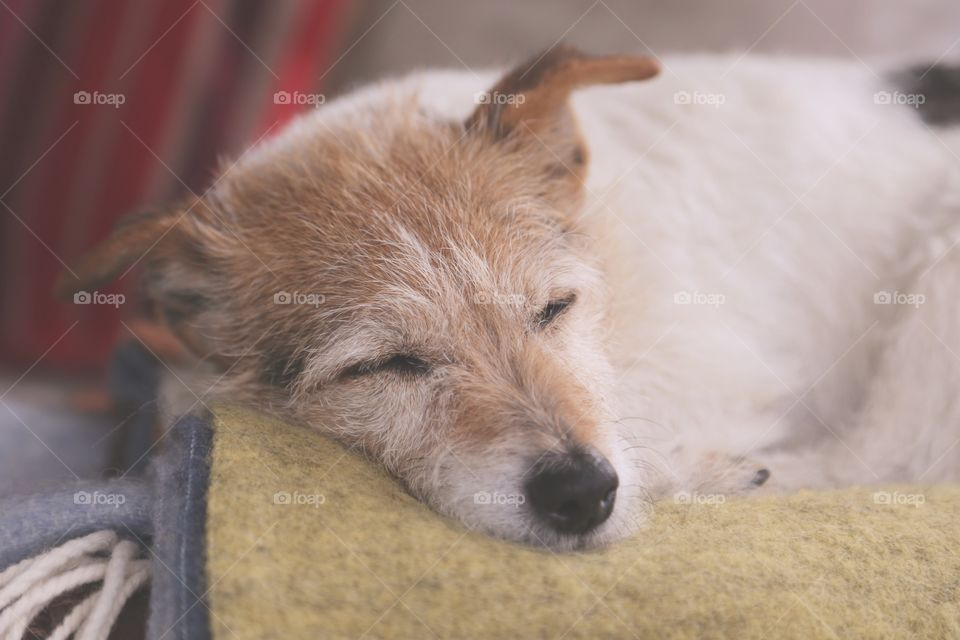 Sleepy Cute dog. A small dog is sleeping on a blanket