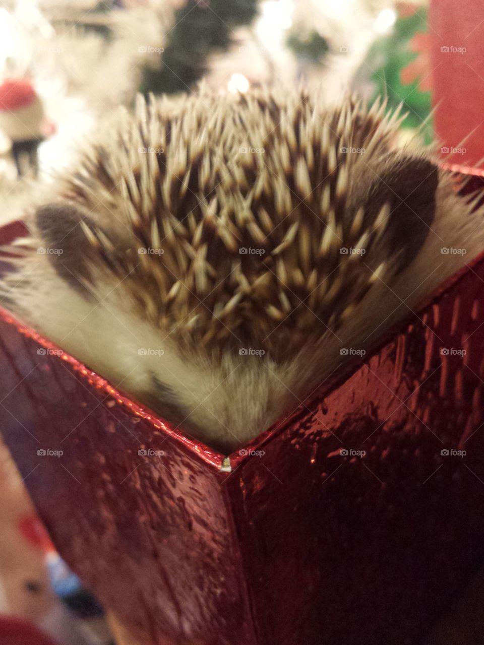 Hedgehog in box