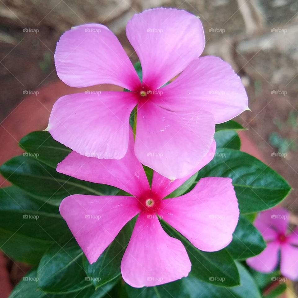 Beautiful Flowers on plant with violet ,purple and pink colour.