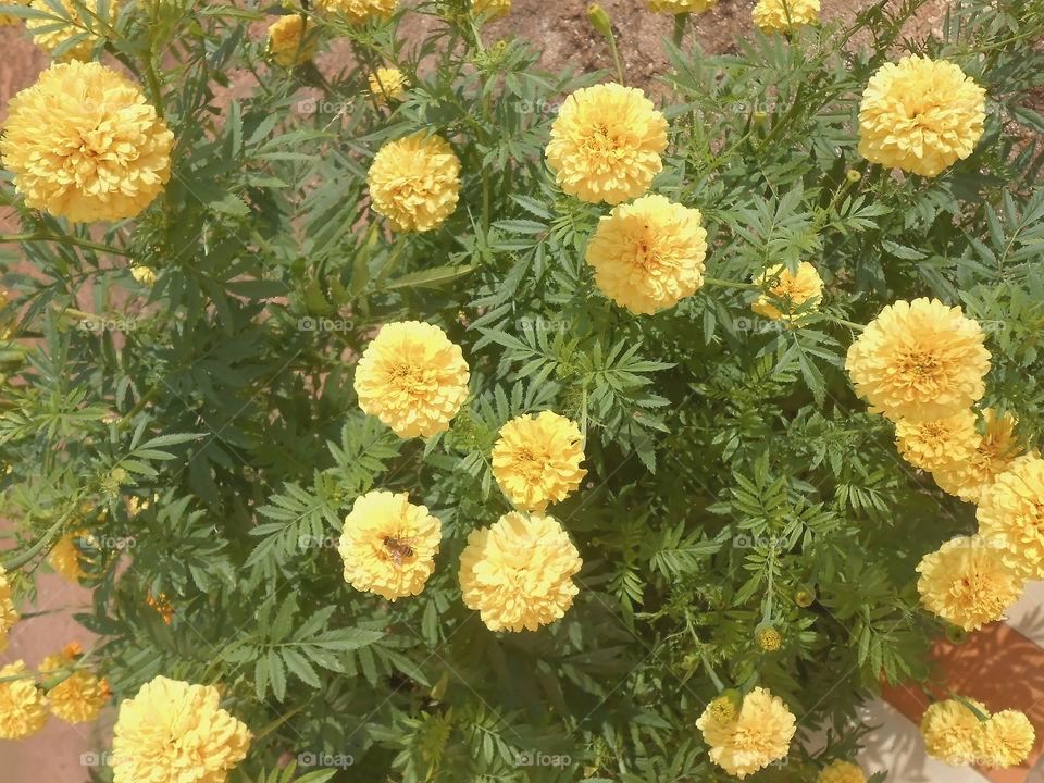 Beautiful Marigold