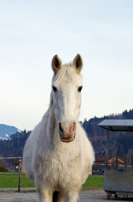 Close-up of a white horse at farm