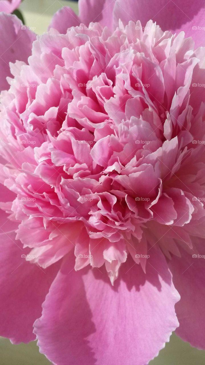 Pink hapiness
