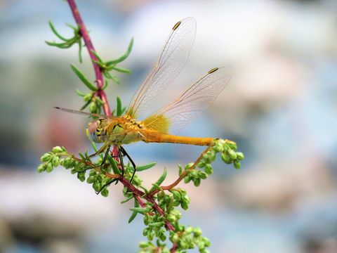 dragonfly yellow nature