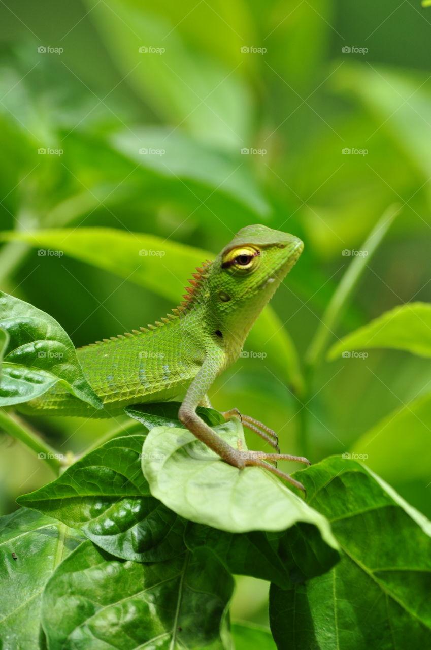 Green Garden Lizard Baby