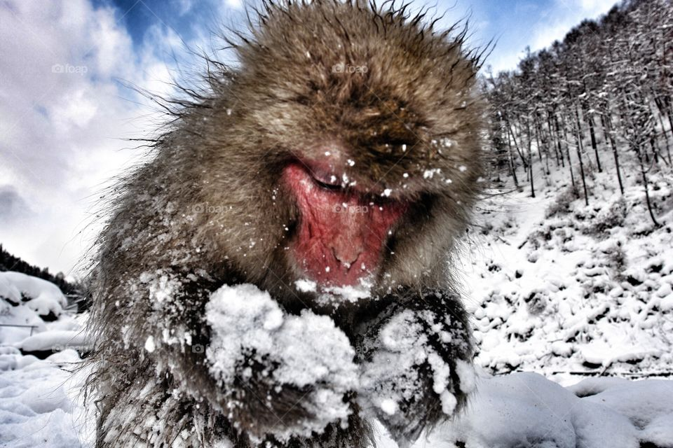 Japanese snow monkey foraging in the snow . Japanese snow monkey foraging in the snow