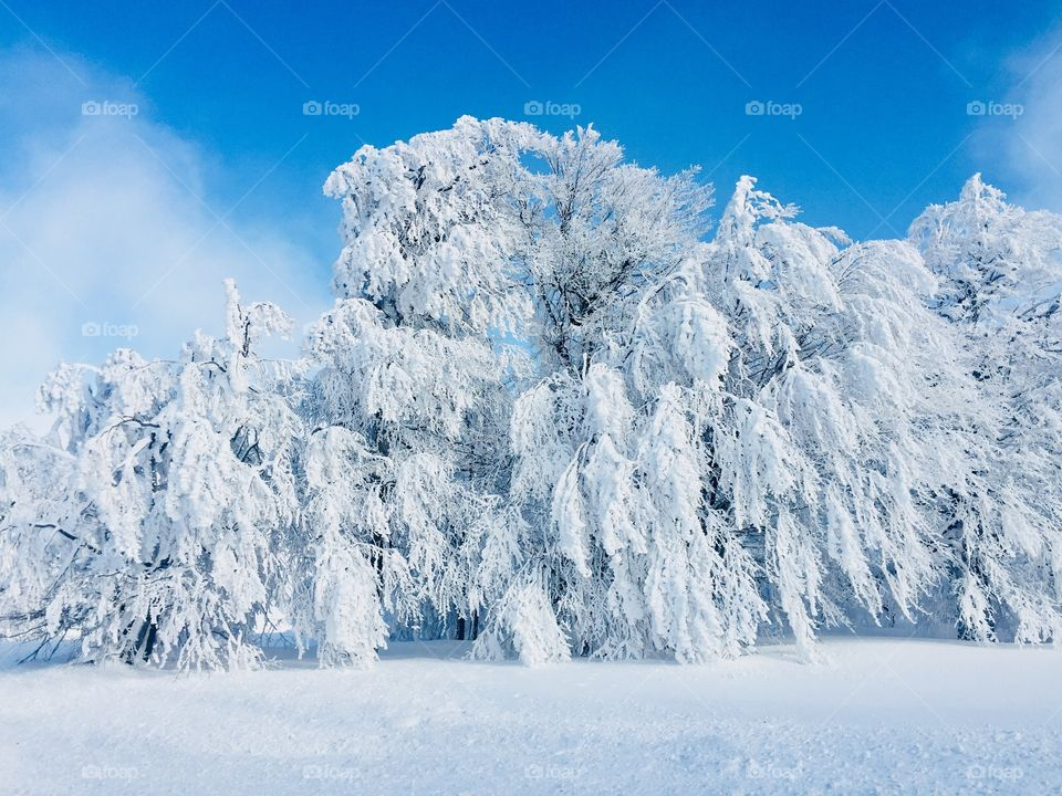 Trees covered in snow on a bright sunny day