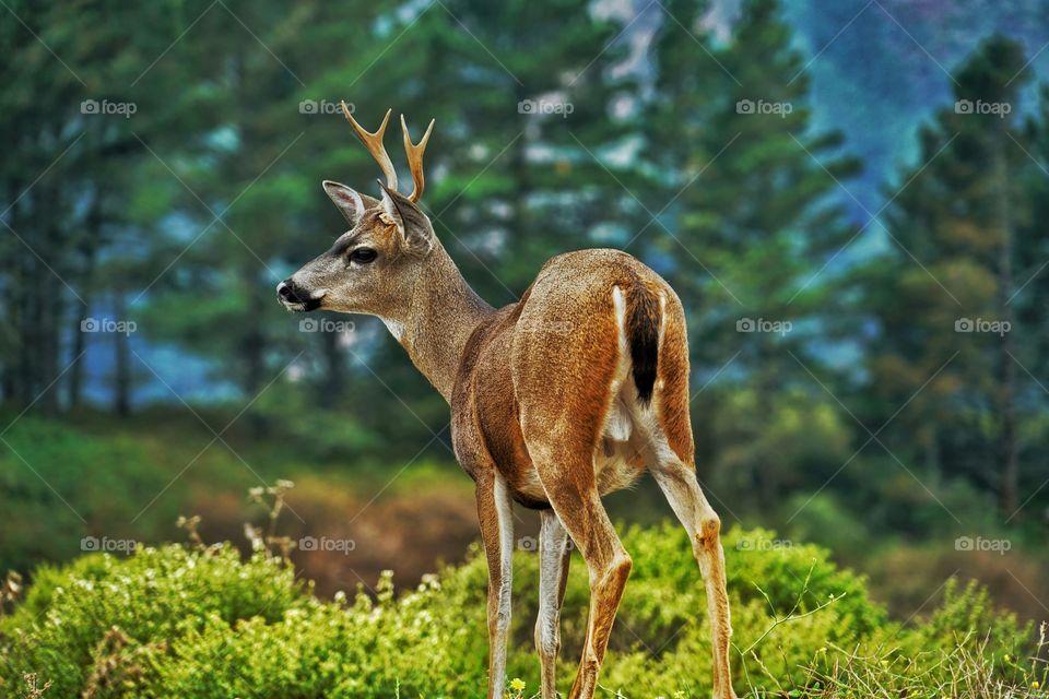 Young Male Deer In California Wilderness
