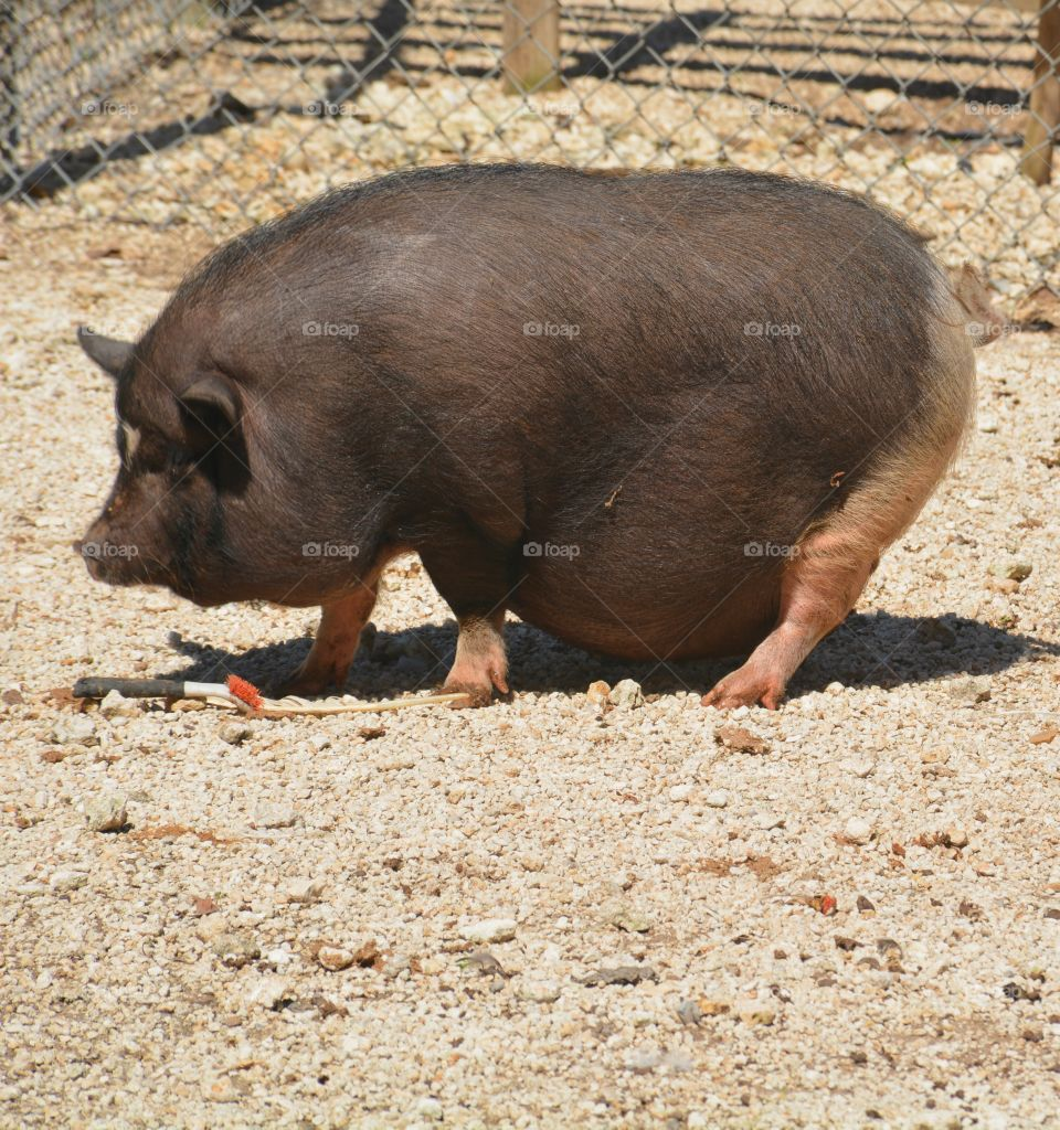 Pot Bellied Pig -  Fun animals and pets - Two of the most popular pets are dogs and cats. Others include farm animals and rescued animals