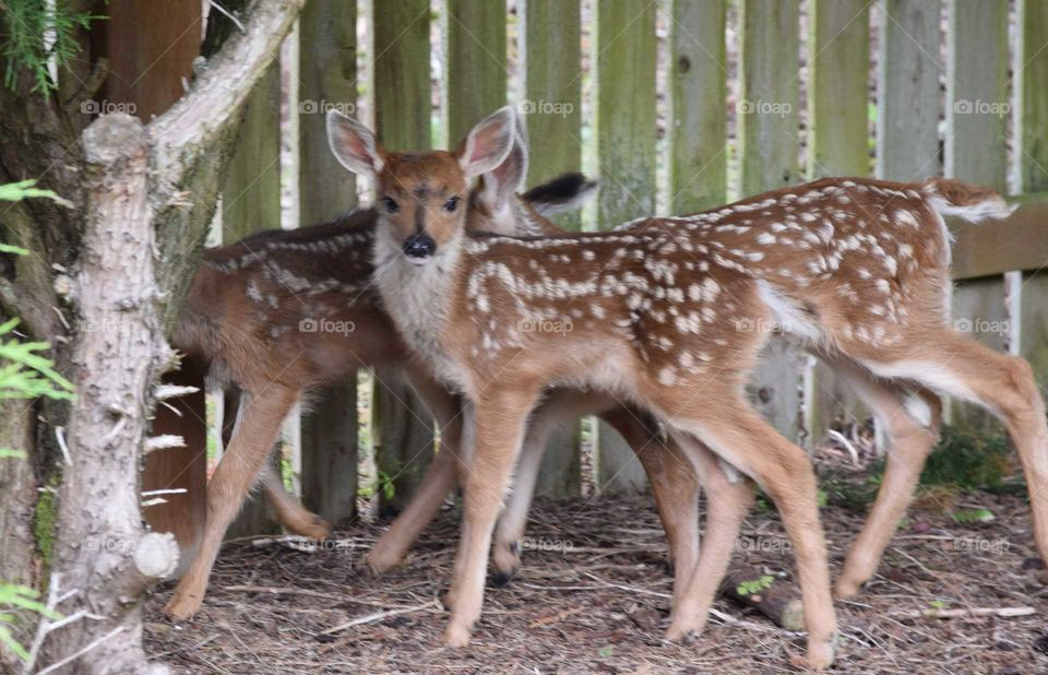 3 fawns in the backyard June 17th 2019