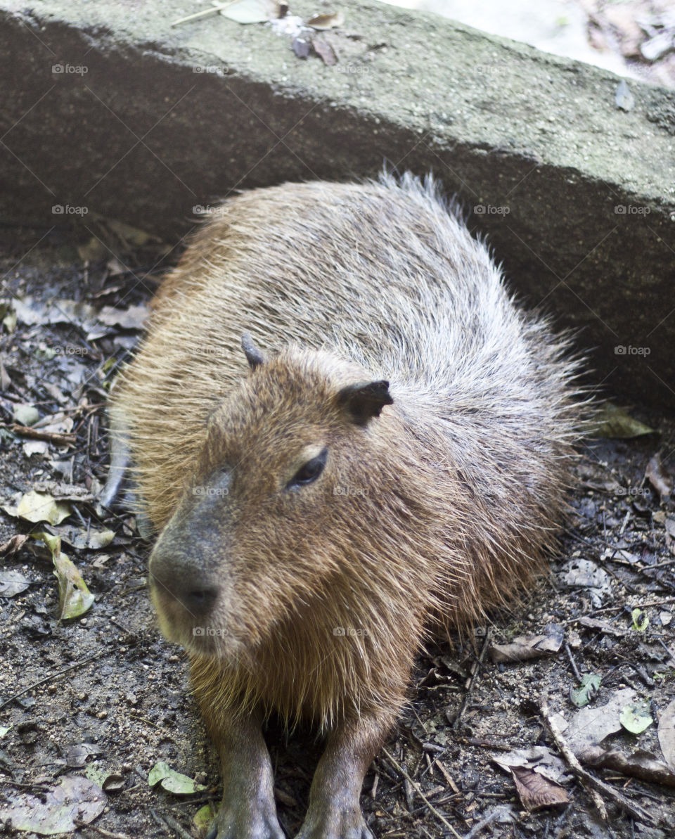 This is from a recent trip to the Puerto Vallarta Zoo. We were so close to the animals through out our walk that I never had to switch out my 50mm lens. The capybara was a pleasant surprise and it thoroughly enjoyed the carrot sticks we bought to feed it.