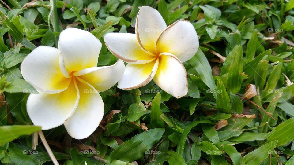 frangipani flower. Two or twin frangipani flower