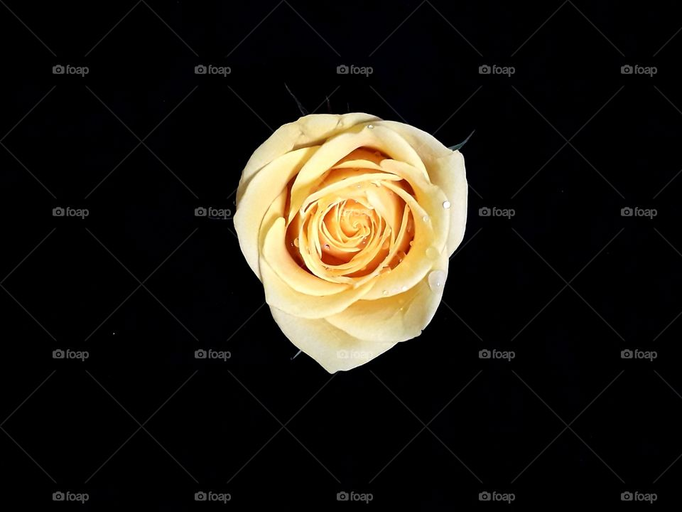 Beautiful light peach rose isolated on background with clipping path.