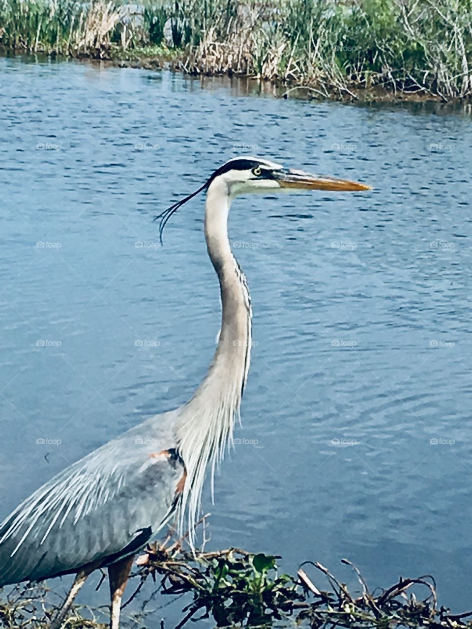 Heron posing in the wind at Lake Apopka Nature Drive in Florida