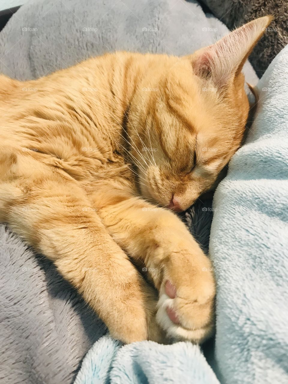 Darling orange tabby kitty cat all cuddled up in cozy blankets on bed!