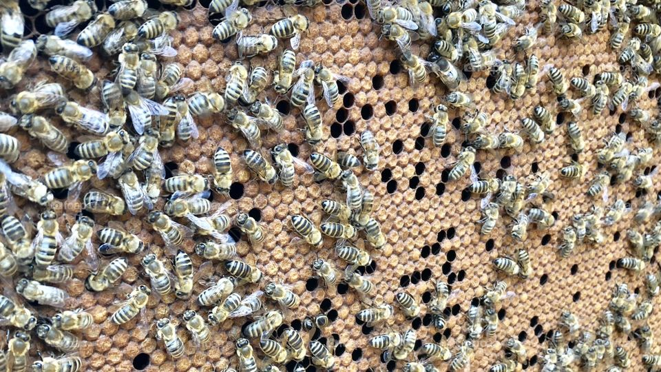 Gorgeous Pattern, Great Brood Pattern, Wall to Wall, Capped Brood, Brood, Sealed Brood, Bees, honeybees, apis malefera, apis, insects, bugs, wings,