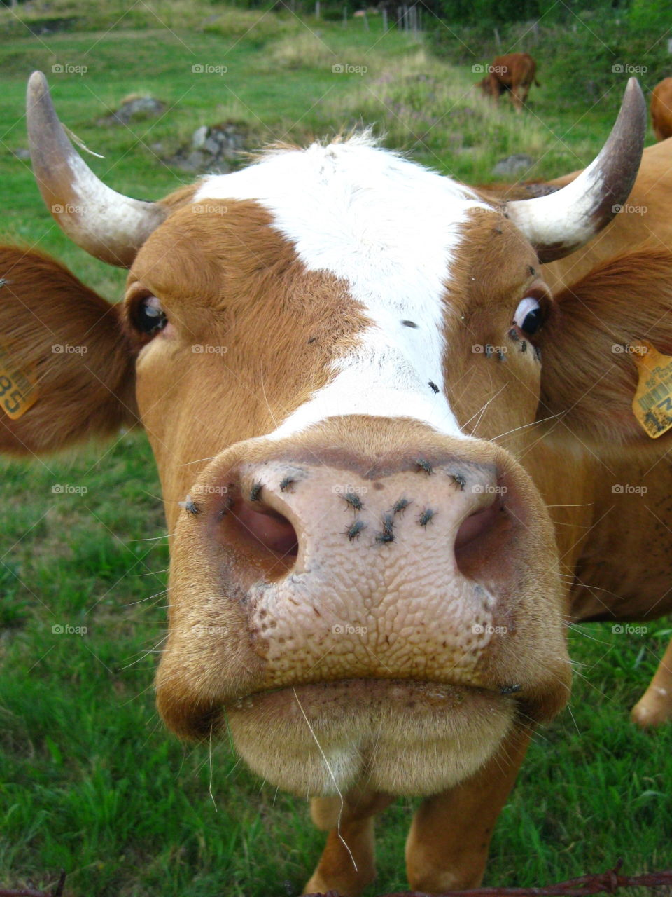 La vache qui ne rit pas. Is there is fly on my nose?