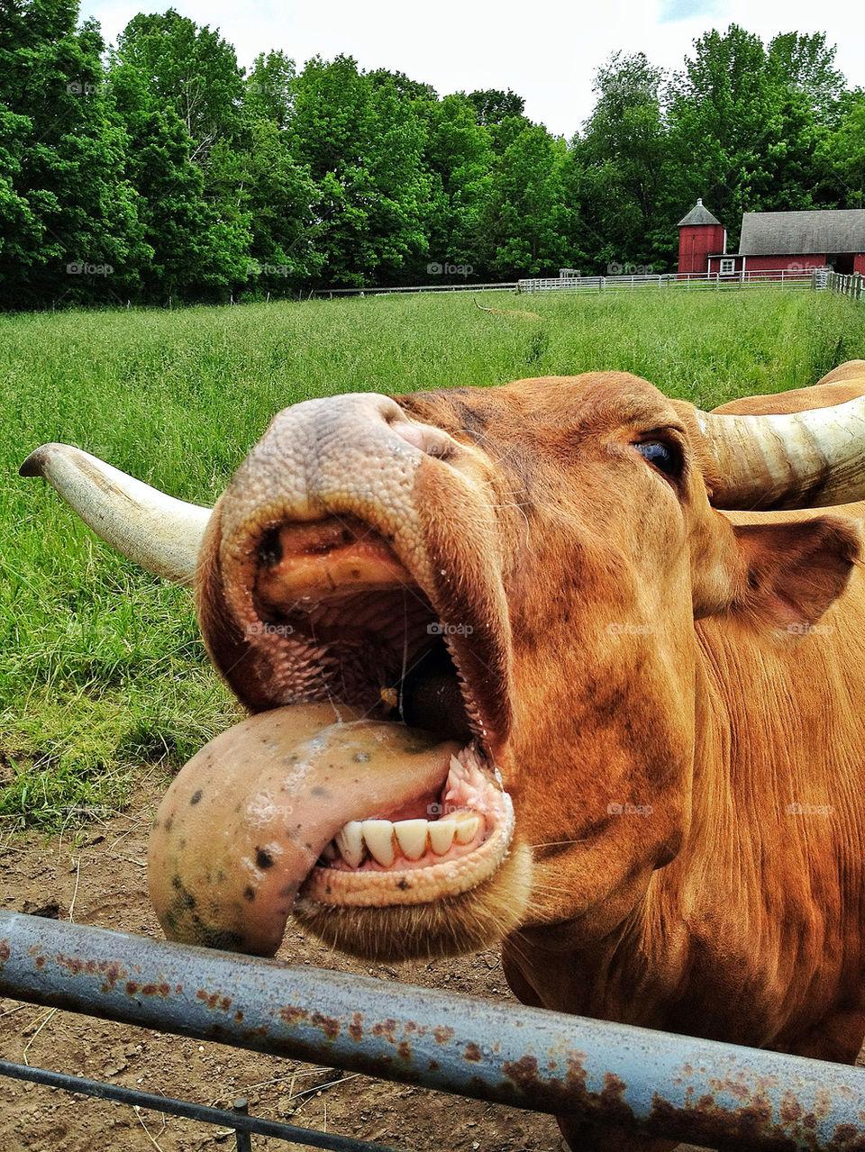 Close-up a cow