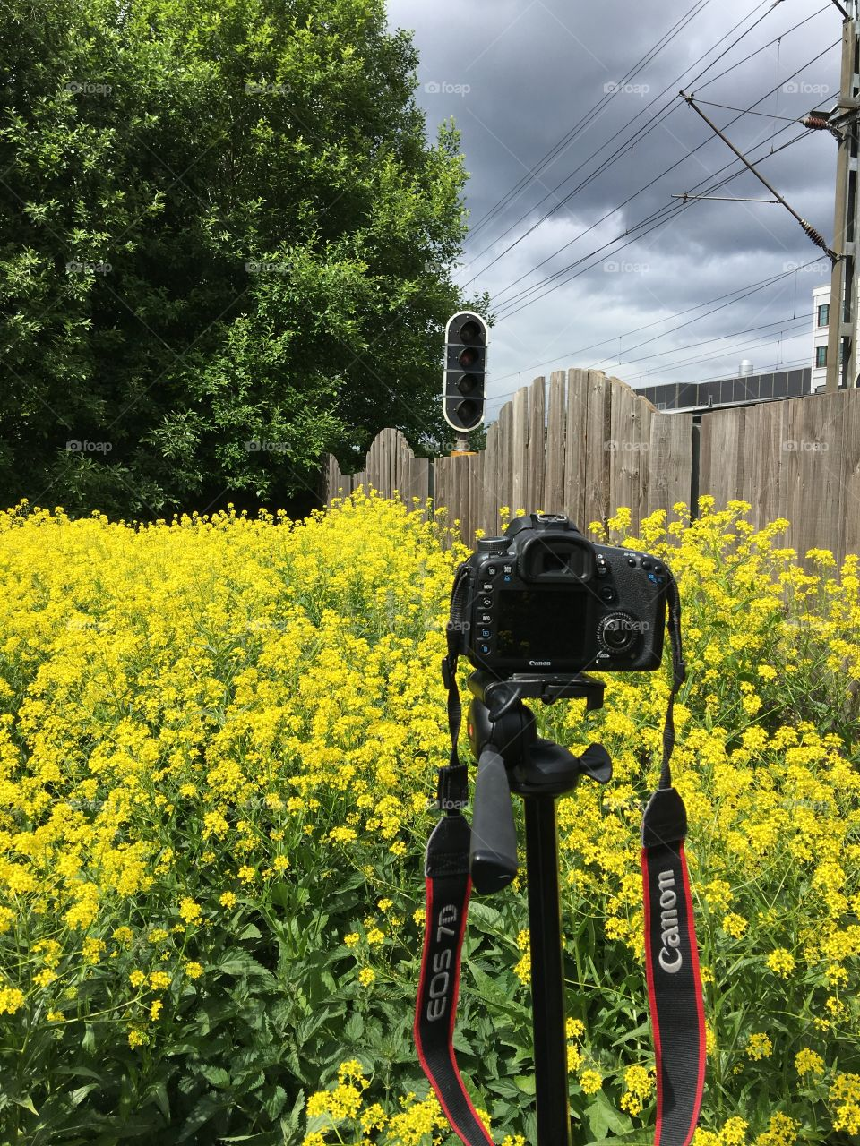 Shooting with the photo camera of rapeseed flower