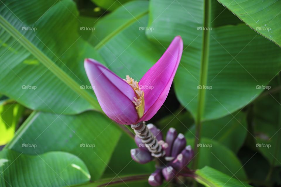 Closeup photo of exotic pink banana plant.  (Musa velutina).