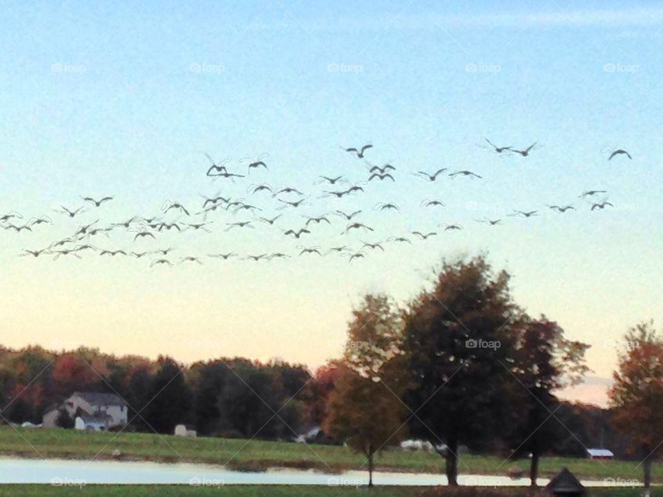 Geese flight Sunset lake