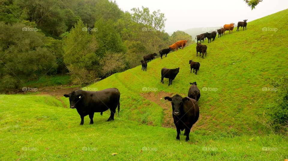 Cows and calf on grassy  field