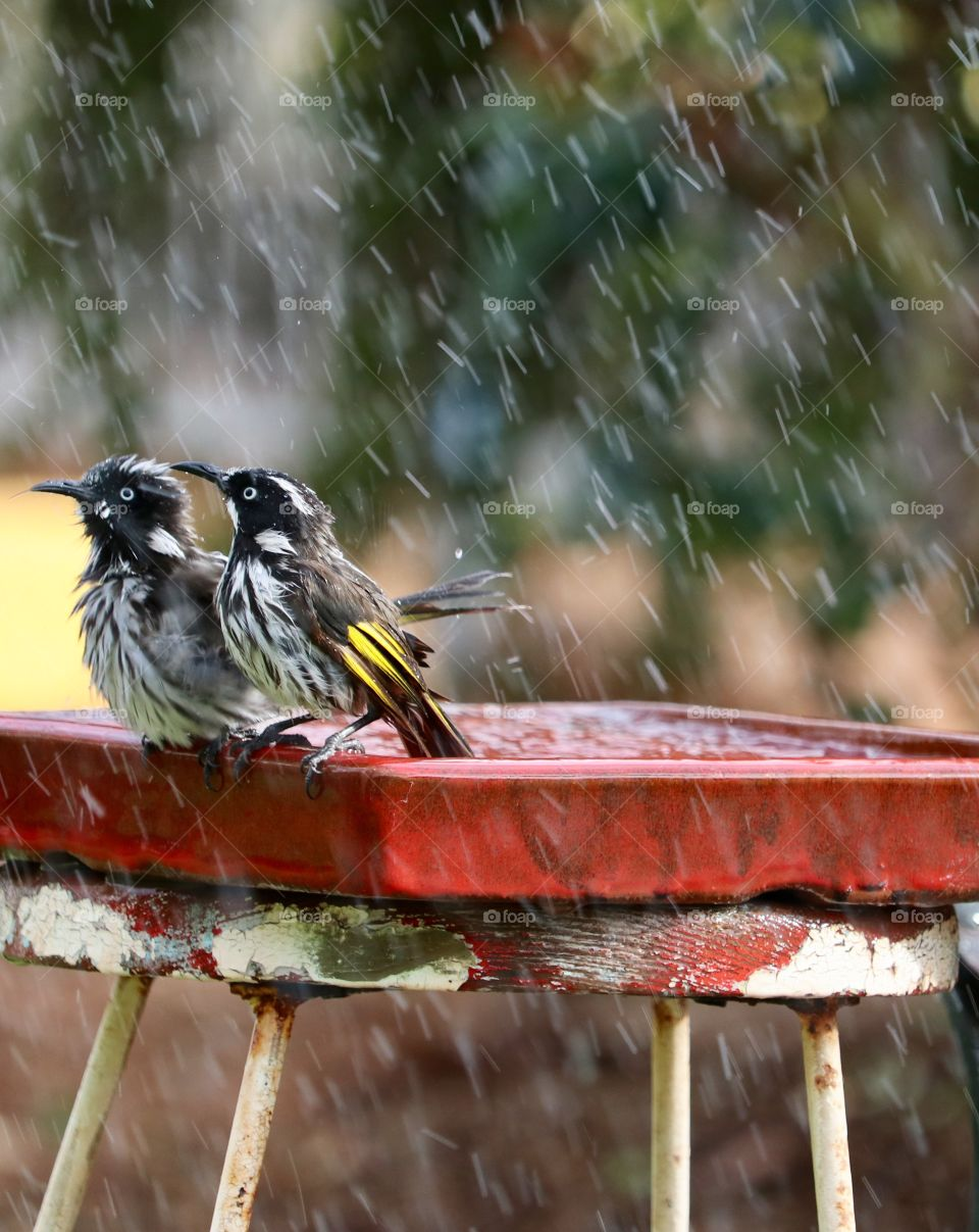 Pair of Australian Honeyeaters (birds) enjoying the rain in a rustic garden birdbath