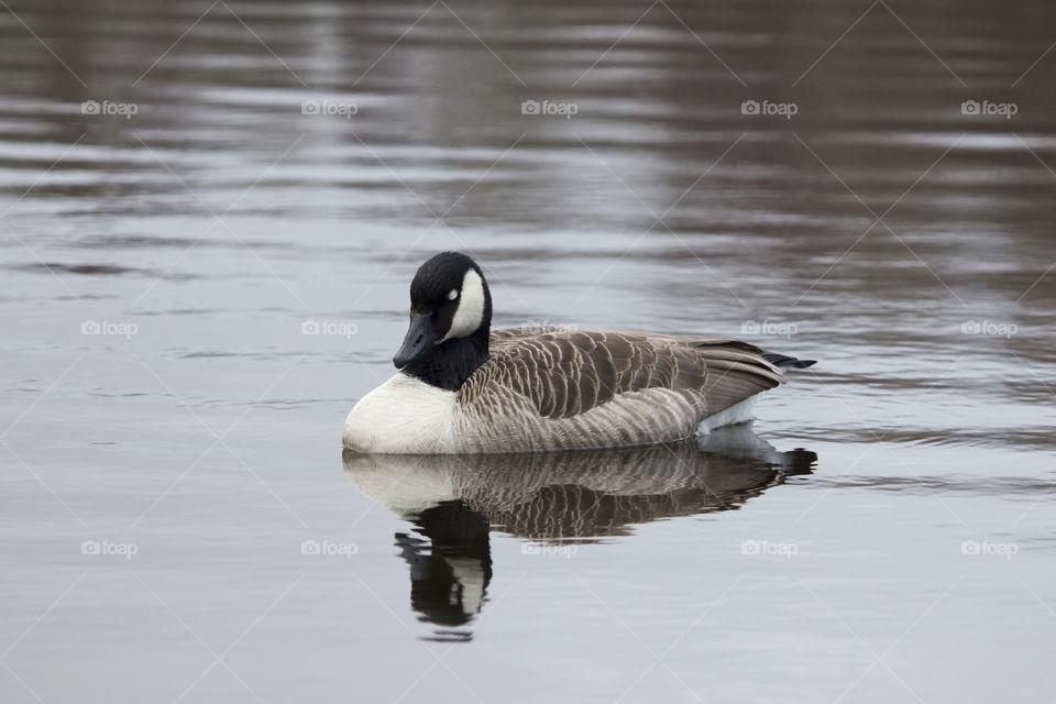 Canada goose  bird sleeping on water .   Kanadagås  fågel sover på vatten