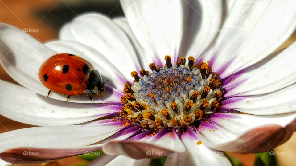 flower insect coccinella
