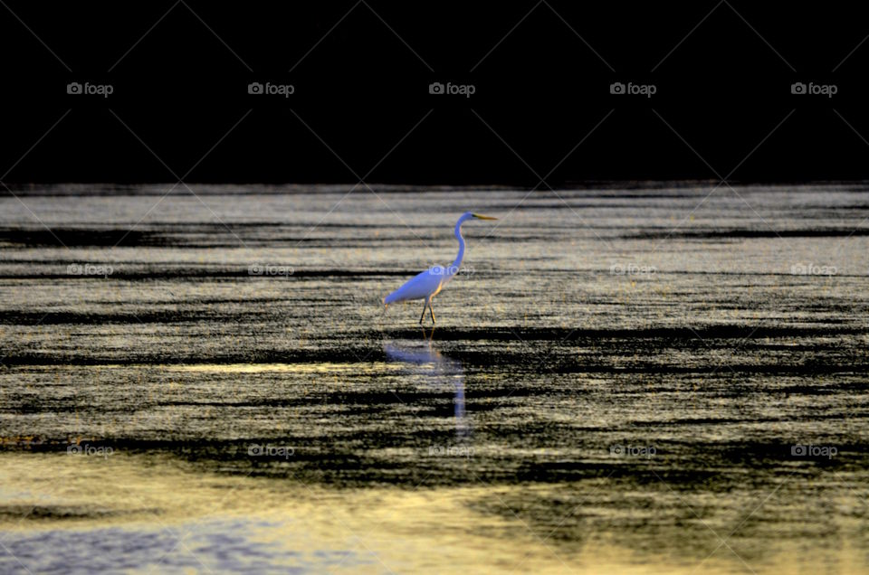 Snowy Egret at Twilight
