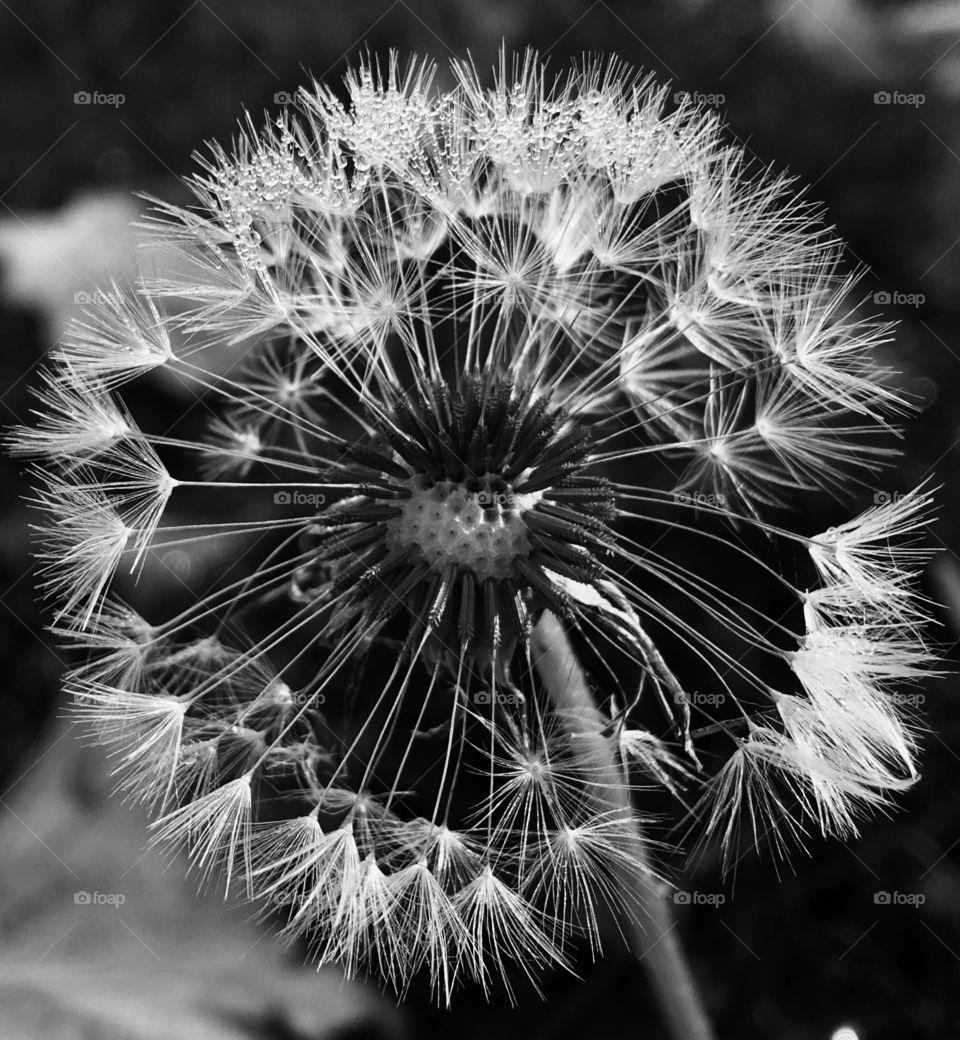 A dandelion's world