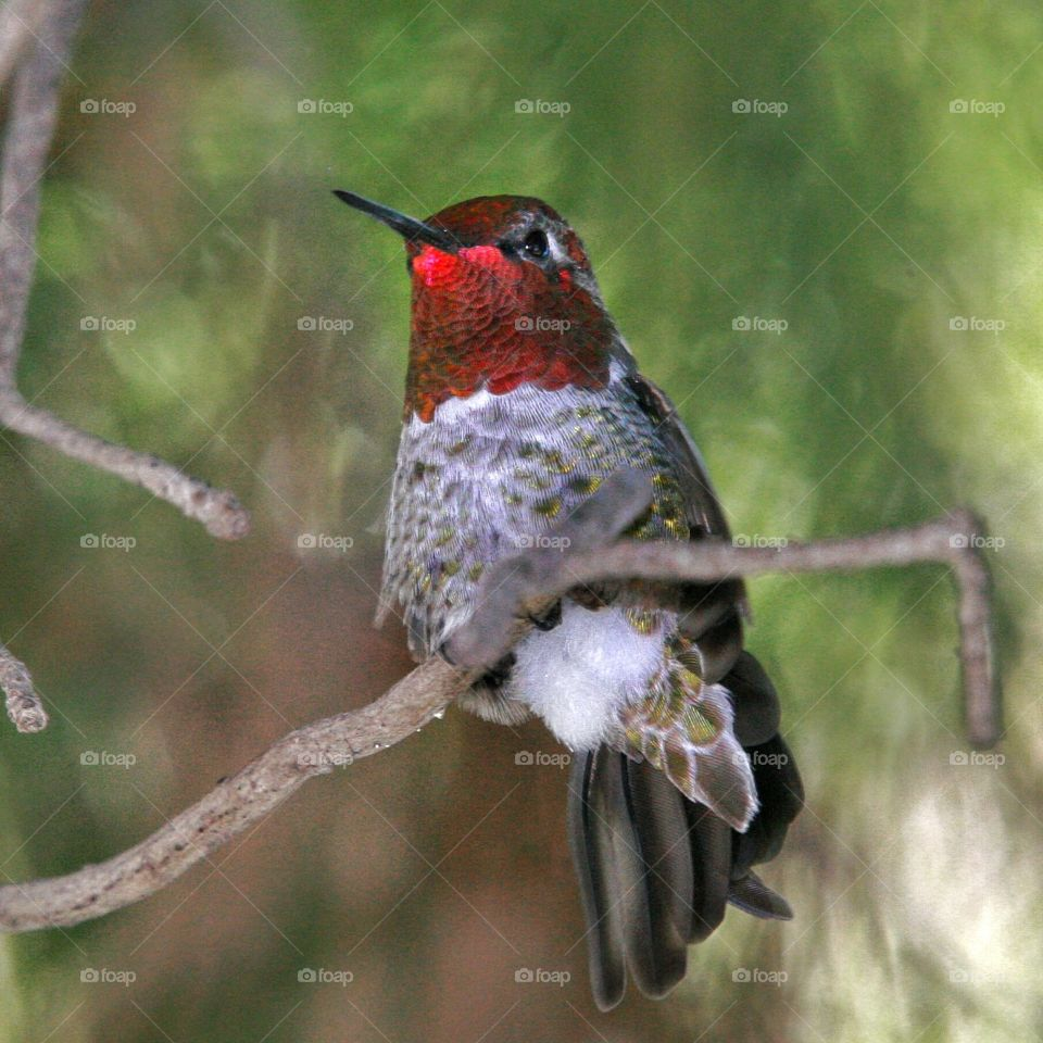 Male Anna's Hummingbird displaying red throat color