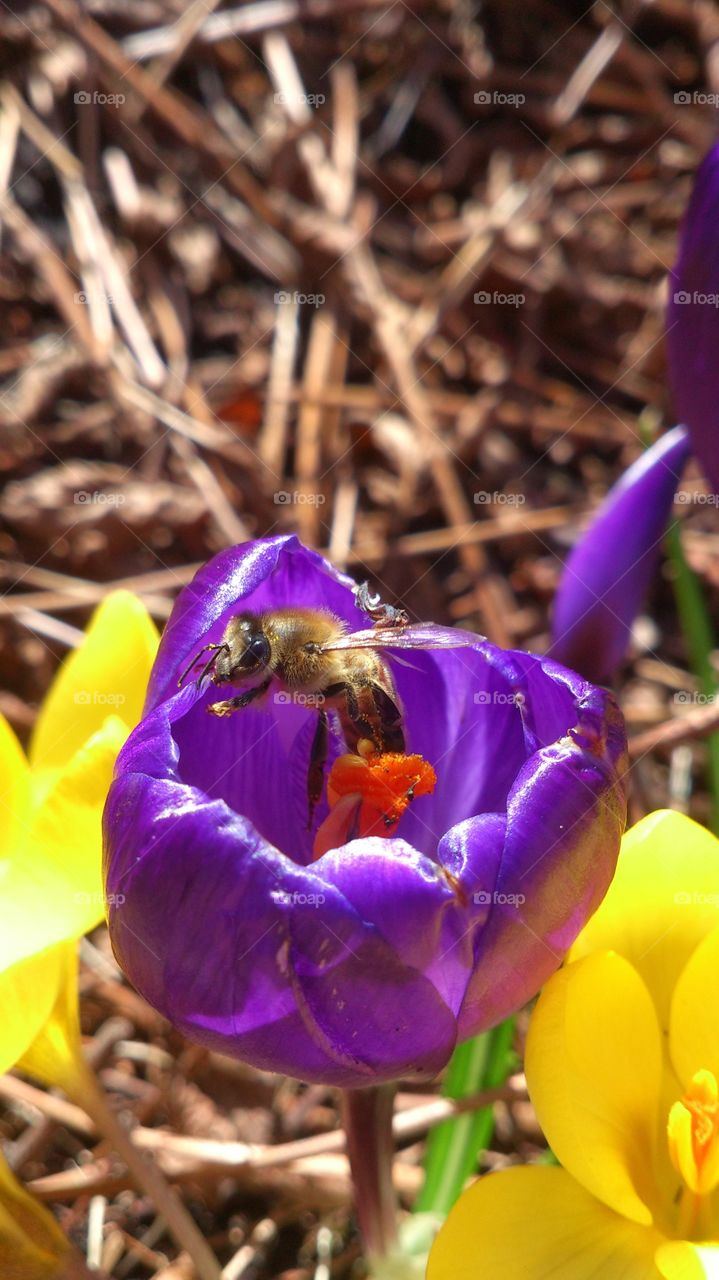 Bee inside a crocus flower