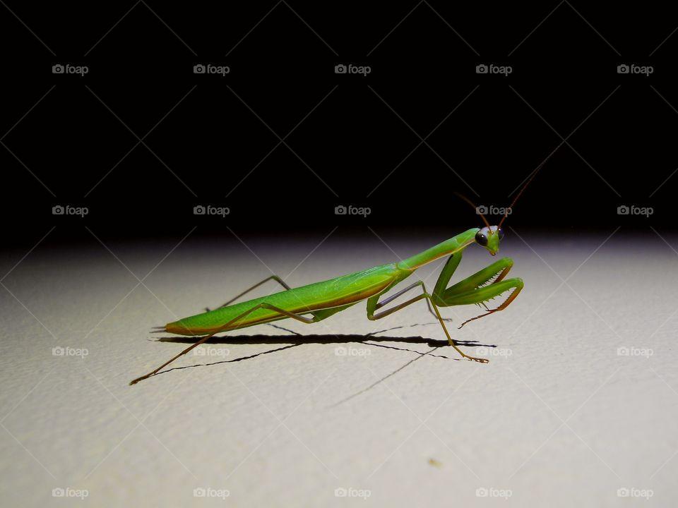 Side view of a praying mantis