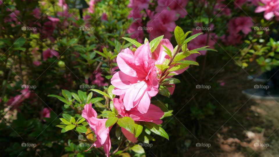 Sunlight on Pink Azaleas