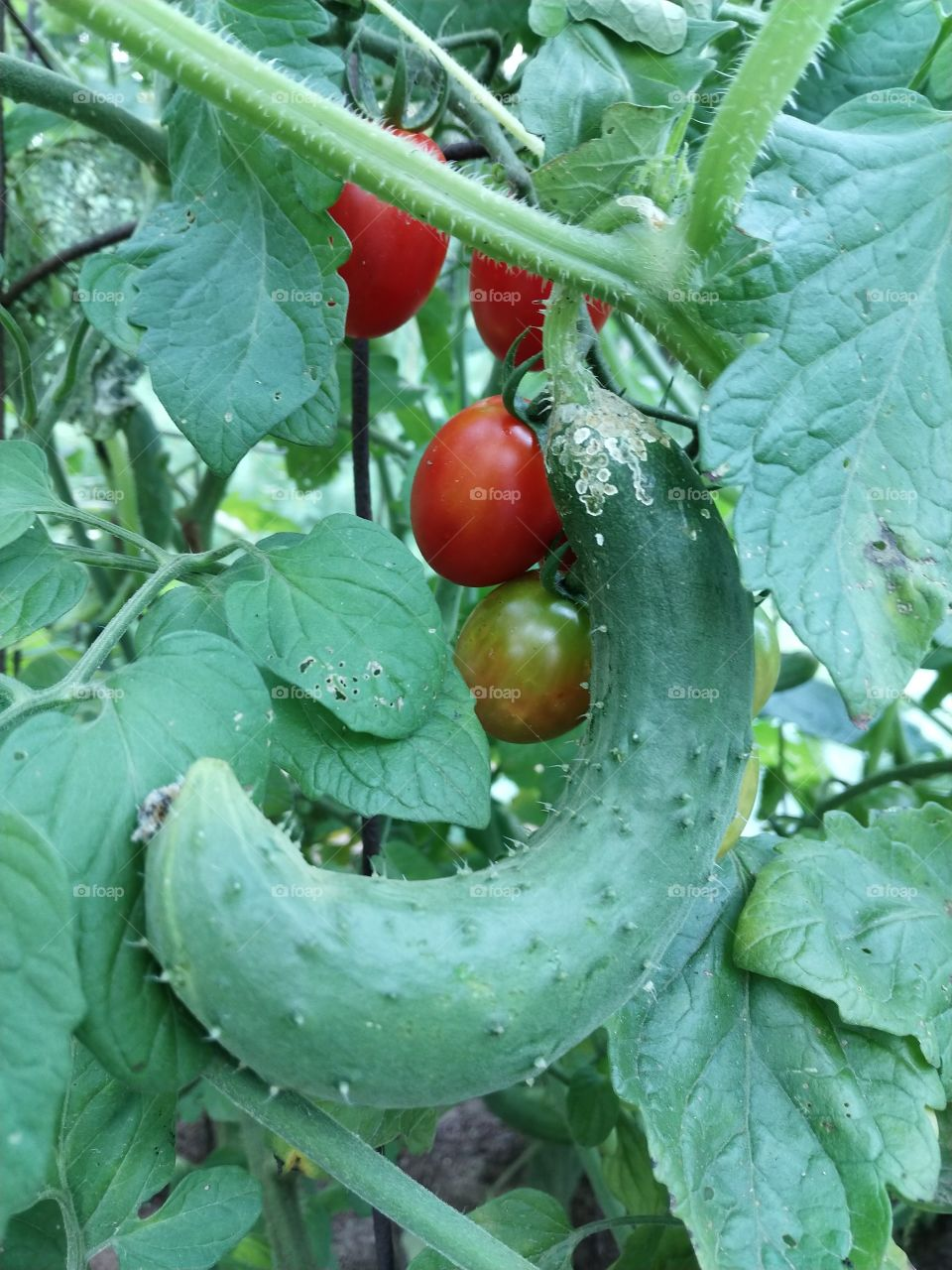 Gardening in the country: cucumber hanging on a vine with red grape tomatoes in the background.