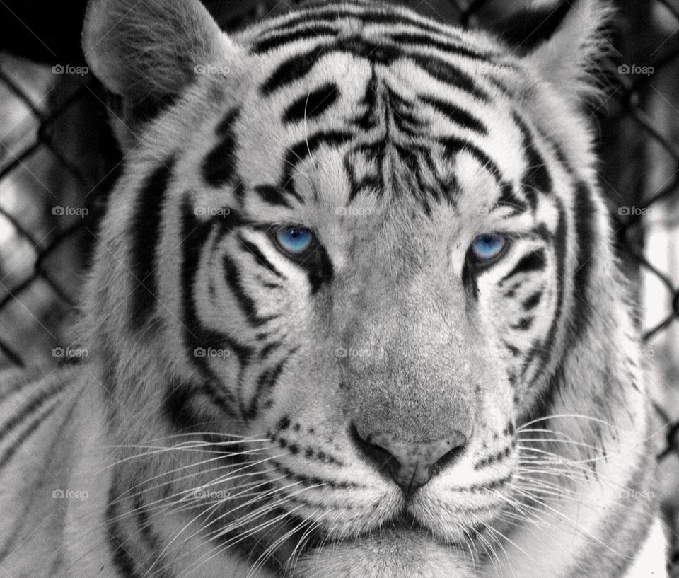 Wonderful White Tiger