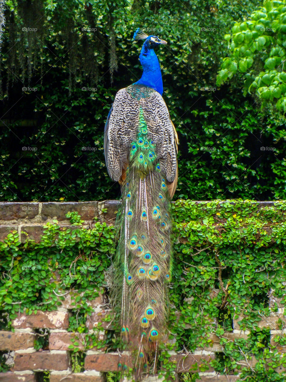 A proud peacock sits atop a vine-covered centuries old brick wall at Middleton Place Plantation in Charleston, South Carolina.