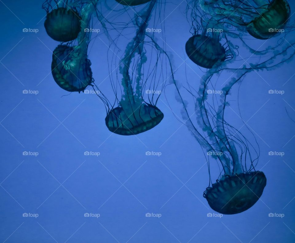 Blue Jelly at ripley's aquarium