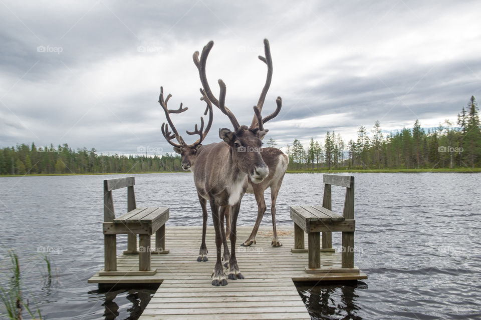 Two Reindeer on a pier