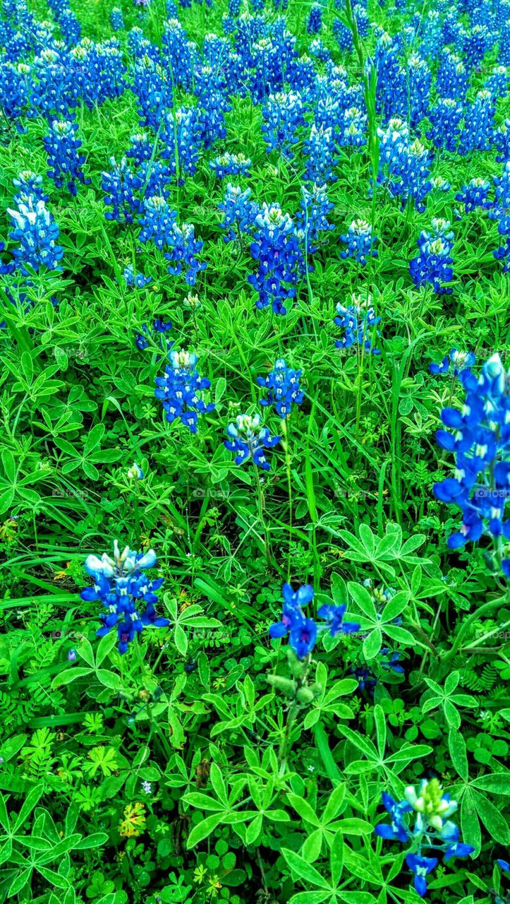 Bluebonnets in the spring.