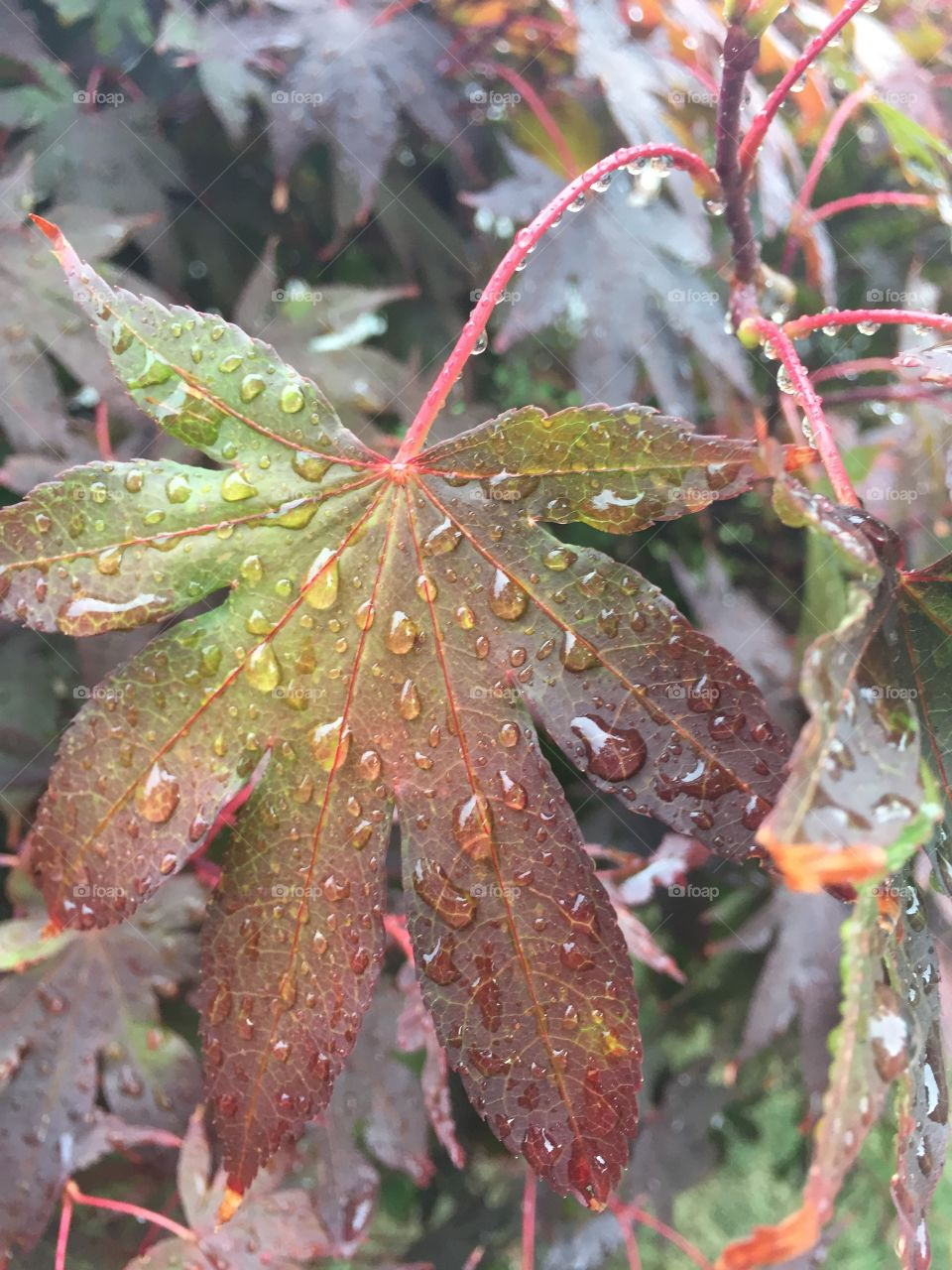 I love walking outside after a good rain. Here I captured the beauty of rain droplets on this leaf from a red leaf maple tree.